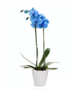 blue Phalaenopsis orchid with delivery