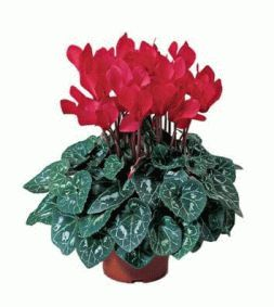 cyclamen in a pot