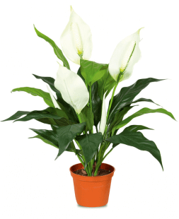 spathiphyllum in a pot