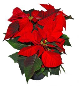 red flower Poinsettia