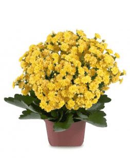 Kalanchoe Yellow