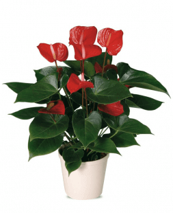 floare de camera anthurium