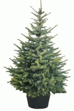 Christmas Tree in a flowerpot 1.4m