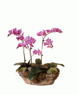 3 branches of Orchids Phalaenopsis in one pot