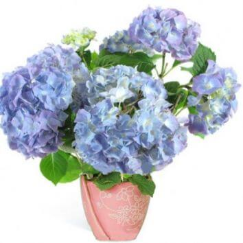 Blue hydrangea in a pot
