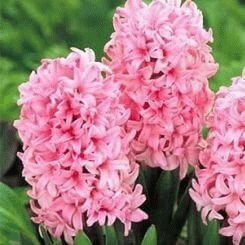 Hyacinth - a symbol of the game