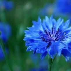 Blue cornflower - a symbol of delicacy
