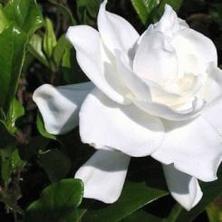 Gardenia - a symbol of secret love