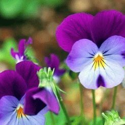 Pansy - a symbol of fun
